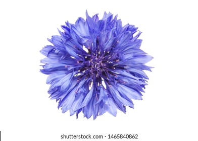 Single blue cornflower isolated against white