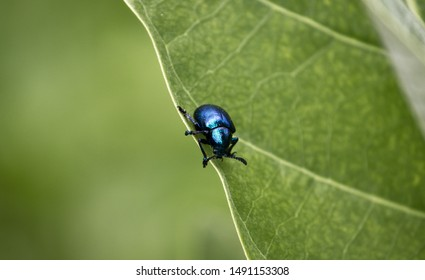 Single Blue Milkweed Beetle Insect on A Green Leaf, Free Space For Text Writing, Also Known as Cobalt Milkweed Beetle, Chrysochus Cobaltinus