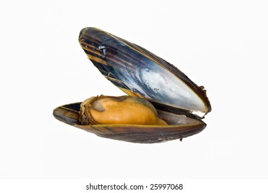 single blue mussel isolated on white background