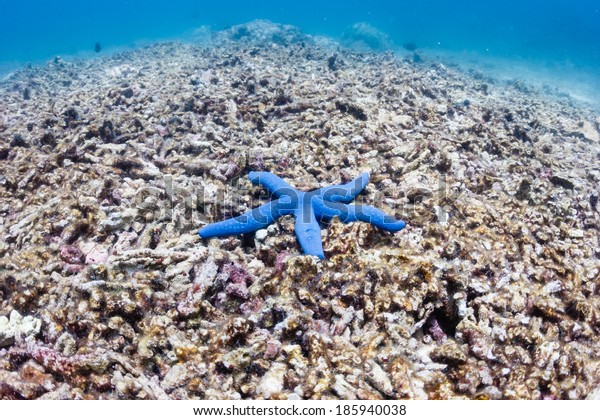 A single blue starfish on a dead coral reef.  This reef was destroyed by a strong typhoon several years ago and has not regrown.
