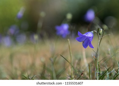Single Bluebell flower closeup in a low angle image