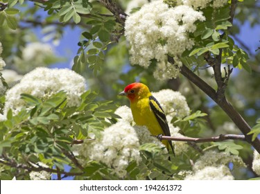 A single bright male western tanager bird (Piranga ludoviciana) sitting in a spring flowering tree