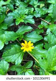 Single bright yellow fresh flower at the garden