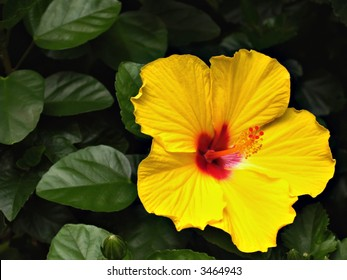 A single bright yellow hibiscus flower among the greenery