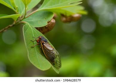 Single Brood X, 17 ans de cicada périodique assis sur une feuille de sassafrass après avoir coulé sa peau.