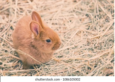 Single brown baby  rabbit on hay