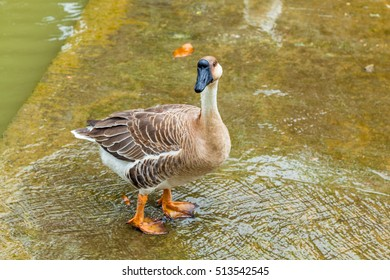 Single brown goose standing on wet concrete by a murky pond of a free range farm