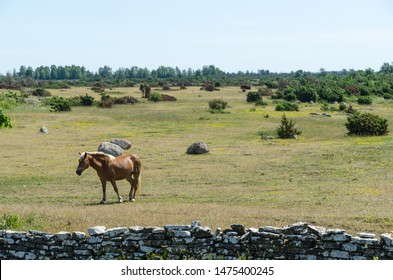 Single brown horse in the great plain area Stora Alvaret at the island Oland in the Baltic Sea in Sweden