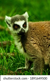 single brown lemur sitting in grass