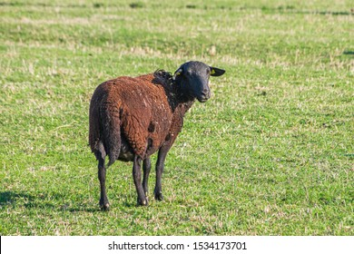single brown sheep on dry green pasture