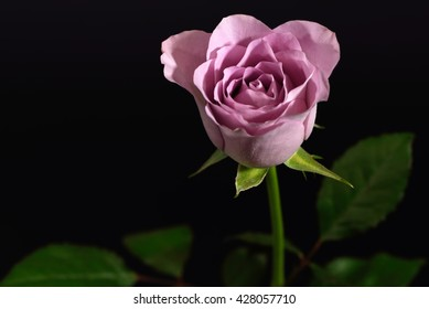 Single bud of a grey-pink colored rose against a black background.