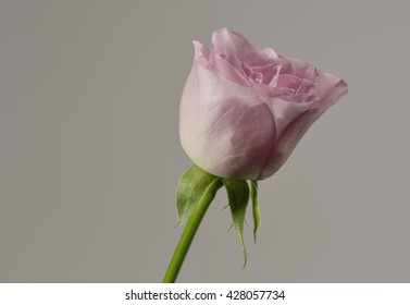 Single bud of a grey-pink colored rose against a grey background