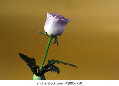 Single bud of a grey-pink colored rose against a golden background
