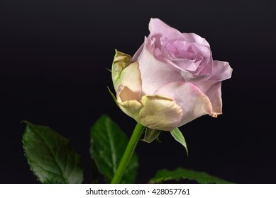 Single bud of a grey-pink colored rose against a black background