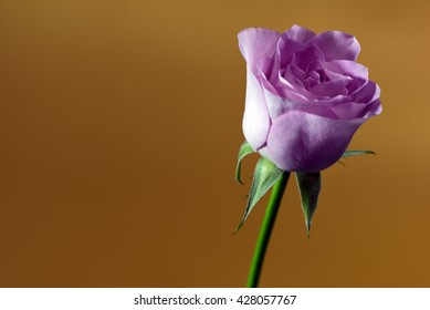 Single bud of a grey-pink colored rose against a bronze background