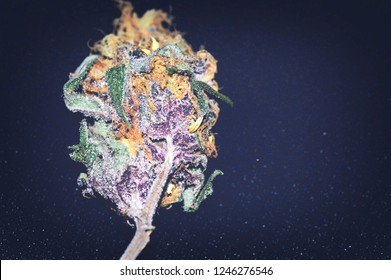 Single bud of a marijuana plant. Indica