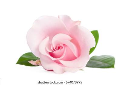 single bud of pink rose isolated on white background