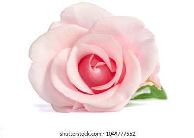single bud of pink rose lies isolated on white background