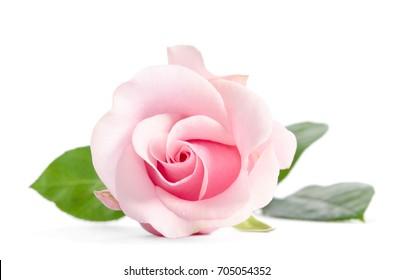 single bud of white rose isolated background