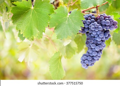 Single bunch of perfect red wine grapes hang from vine with blurred background