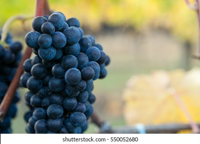 Single bunch of Pinot Noir wine grapes hanging from the vine