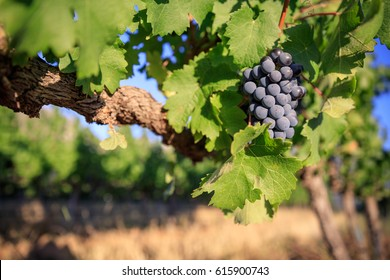 Single bunch of shiraz grapes on old vine.