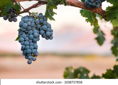 Single bunch of Shiraz wine grapes against blurred sunset mountains background.