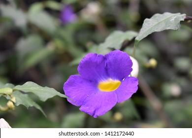 Single  Calitastic Indigo Calibrachoa Perennial