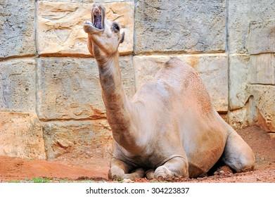Single camel.
