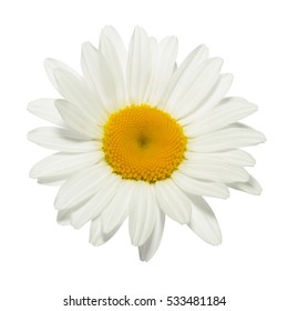 Single Camomile Flower isolated on white background.