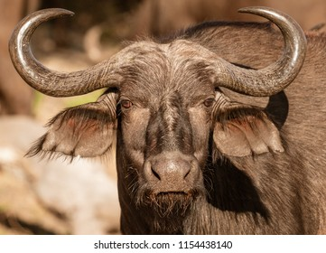 A single cape buffalo looks at the photographer in Botswana