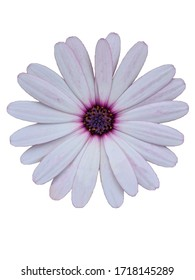 A single Cape daisy for decoration.