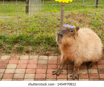 Single capybara sitting on brick stones with sunglasses on the head looking stylish and cool, taken at a petting zoo in Chiba, Japan