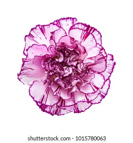 single carnation flower with unusual color - pale lilac petals wit darker edges