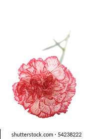 single carnation isolated on white