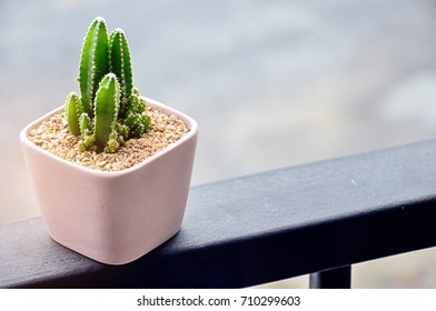 Single Cereus peruvianus cactus or succulent plant in pink square ceramic or clay pot with warm morning  sunlight given soft and relax feeling. Shot in perspective man eye view with space for text.