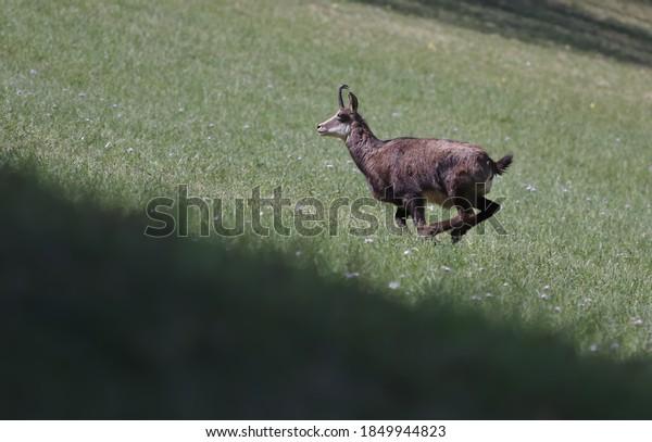 single-chamois-running-hill-on-600w-1849