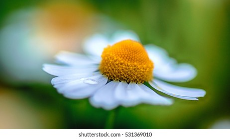 single chamomile after the rain