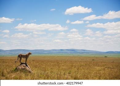 Single cheetah in the middle of the savannah, Kenya