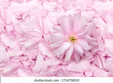 Single cherry blossom on top of cherry blossom petals, top view. Cherry blossom backdrop. Wedding concept or party decoration. Soft pink and white flowers with bokeh background. Copy space.