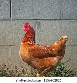 A Single Chicken in the Barnyard
