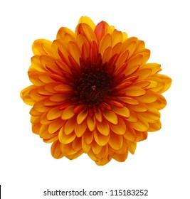 Single chrysanthemum flower head isolated on white