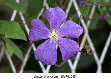 Single Clematis or Leather flower easy care perennial vine plant open blooming purple flower with leathery petals and bright yellow center next to old flower without petals surrounded with small leave