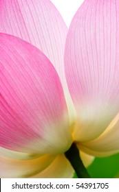 single closeup beautiful lotus in the pond