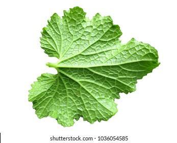 Single Closeup of Zucchini back leaf isolated on white background