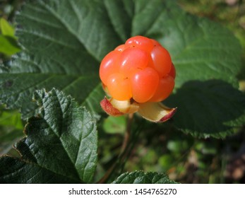 A single cloudberry (Rubus chamaemorus) growing up on a swamp in Finland