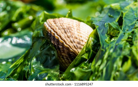 Single Cockle shell fish in a bed of green  seaweed