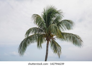 A single cocnut palm tree.