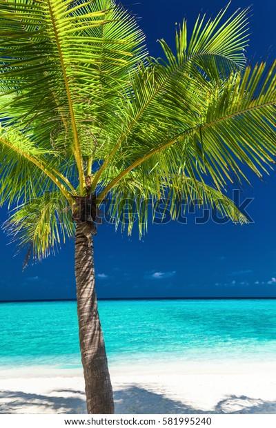Single coconut palm tree on a white tropical beach of Maldives