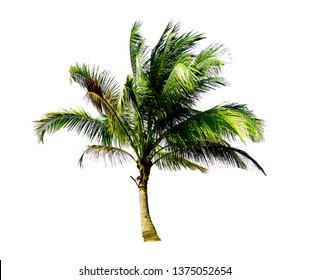 Single coconut tree growing up on the sea beach isolated on white background looks fresh and beautiful.